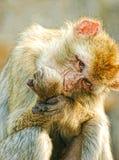Le singe drôle est devenu fâché Photographie stock
