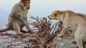 Le singe drôle se repose sur les branches nues et combat avec le chien banque de vidéos