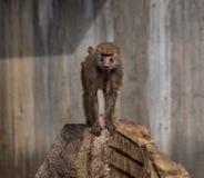 Le singe image libre de droits