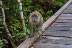 Le singe gris de cynomolgus regarde fixement dans l'appareil-photo et le x28 ; Indonesia& x29 ; Image stock