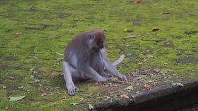 Le singe gris se repose sur la terre concrète moussue et recueille les feuilles et les bâtons secs banque de vidéos
