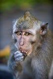 Le singe mange Image stock