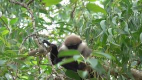 Le singe mange du fruit sec sur un arbre dans les jungles banque de vidéos