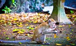 Le singe mange une banane image libre de droits