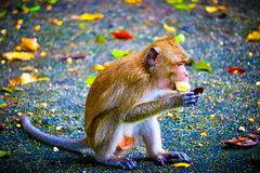 Le singe mange une banane images libres de droits