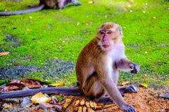 Le singe mange une banane images stock