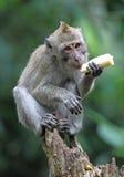 Le singe mangent la banane images libres de droits