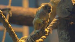 Le singe mangent la mangue banque de vidéos