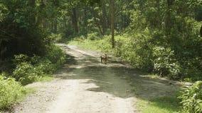 Le singe marche sur le chemin dans la forêt tropicale banque de vidéos