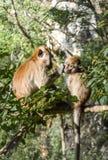 Le singe montre l'amour dans la forêt Image stock