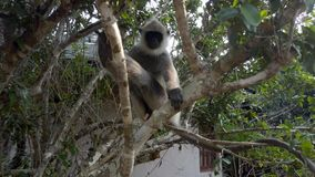 Le singe se repose dans l'arbre au bord de la station de vacances dans Sri Lanka banque de vidéos