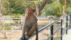 Le singe se repose sur la balustrade de la barrière au zoo thailand banque de vidéos