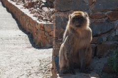 Le singe se repose sur une terre images libres de droits