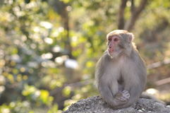 Le singe se repose tranquillement Photographie stock
