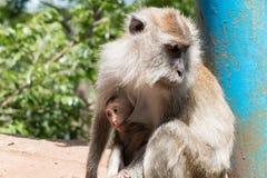 Le singe suçant le lait dans la mite images stock