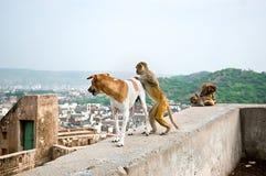 Le singe veut monter sur un chien, temple de Galta à Jaipur, Inde Photographie stock libre de droits