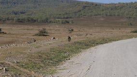 Le singe vient le long la route dans la savane africaine pendant la saison sèche banque de vidéos