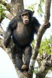 Le singe voient le singe faire Photo libre de droits