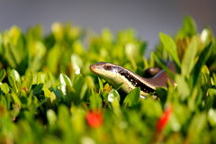 Le skink Photographie stock