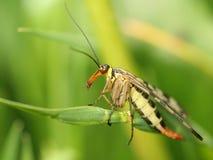 leć skorpion Obrazy Stock