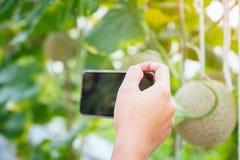 Le smartphone mobile de prise de main prennent la photo au melon frais ou au Cantalo photos libres de droits
