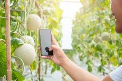 Le smartphone mobile de prise de main prennent la photo au melon frais ou au Cantalo photo stock