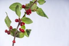 Le Soapberry Shepherdia canadensisisolated Photo stock