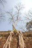 le Soie-coton s'enracine le long de la clôture, merci temple de Prohm, Angkor Thom, Siem Reap, Cambodge Image libre de droits