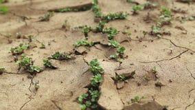 Le sol criqué sec pendant une période de sécheresse, usines font leur manière pendant une période de sécheresse banque de vidéos