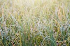 Le soleil à travers les gisements de riz comme fond Image libre de droits