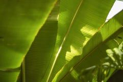 Le soleil éclairé à contre-jour par feuille de banane images libres de droits
