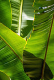 Le soleil éclairé à contre-jour par feuille de banane - fond Photos stock