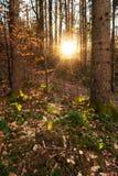 Le soleil égalisant lumineux brillant par les arbres impeccables dans la forêt conifére photos libres de droits