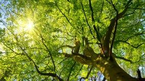 Le soleil brillant doucement par un grand arbre de hêtre banque de vidéos