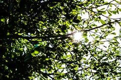 Le soleil brillant par les feuilles Images stock