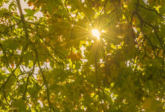 Le soleil chaud et ses rayons par des feuilles d'automne Images stock