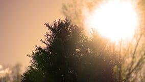 Le soleil cinématographique brillant au-dessus du dessus de l'arbre d'arborvitae dans l'après-midi - version de coucher du soleil banque de vidéos