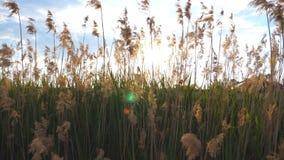 Le soleil d'été brillant par la haute herbe sauvage Le vent secoue l'herbe grande Vue sur le pré au temps de coucher du soleil Be banque de vidéos