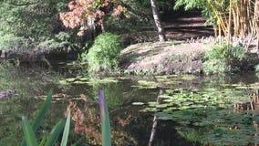Le soleil d'après-midi éclaire des réflexions sur l'eau d'étang, Australie de Brisbane banque de vidéos