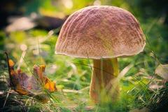 Le soleil d'herbe de forêt de champignon de chute Images libres de droits