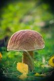 Le soleil d'herbe de forêt de champignon de chute Photo stock