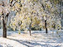 Le soleil d'hiver brille sur des arbres avec les feuilles vertes couvertes de neige Image stock