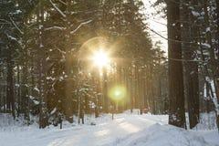 Le soleil d'hiver entre les arbres Photos stock