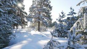 Le soleil d'hiver traverse les branches couvertes de neige de sapin clips vidéos