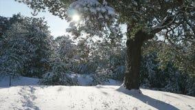 Le soleil d'hiver traverse les branches couvertes de neige de sapin banque de vidéos