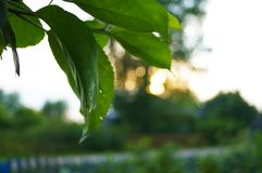 Le soleil dans le coucher du soleil par les feuilles image stock
