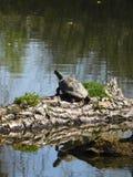 Le soleil de capture de tortue de glisseur images stock