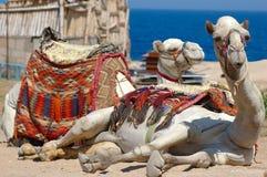 le soleil de chameau Image stock