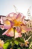 Le soleil de cuvette de Rose photo stock