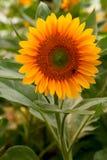 le soleil de fleur Photos stock